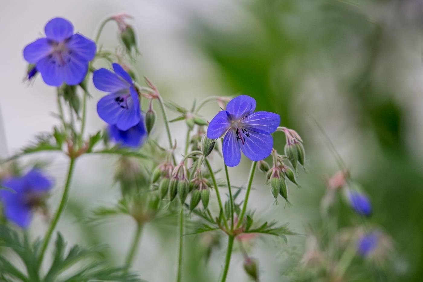 11 лучших сортов герани садовой многолетней с фото и названиями