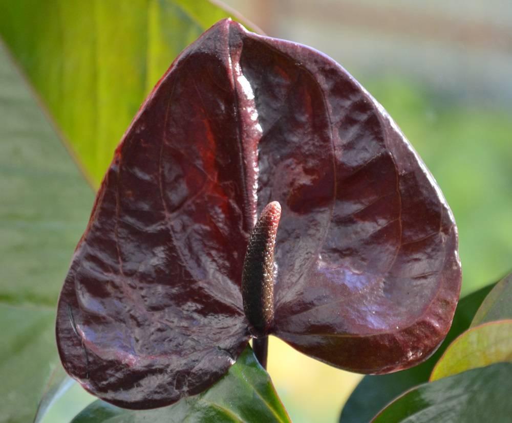 Прекрасный антуриум дакота: особенности вида, фото цветка и правила ухода за ним