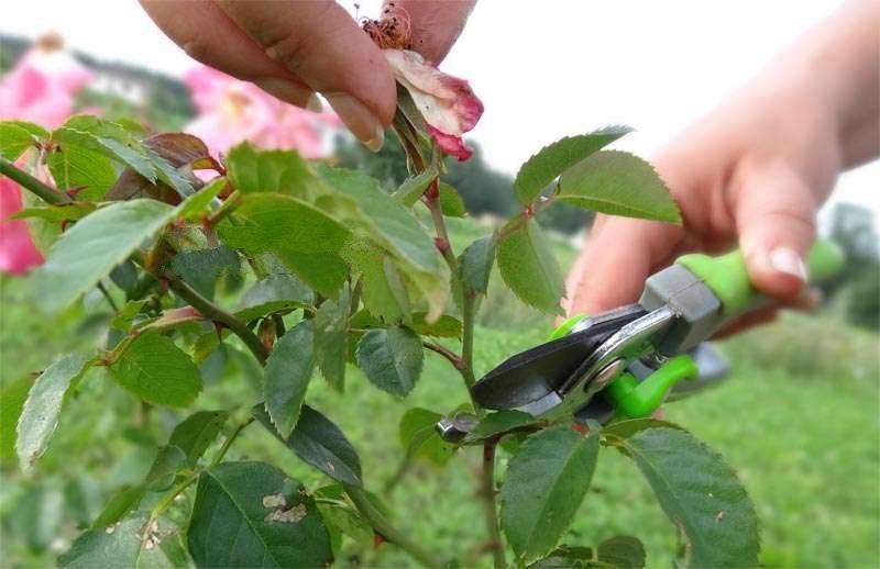 Белый налет на розах — что это такое и как лечить