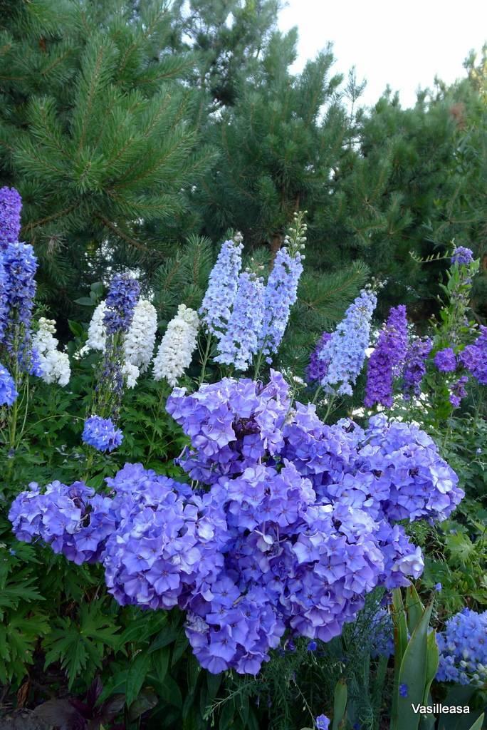 Интересно о почвопокровных флоксах дугласа: посадка и уход за растением
