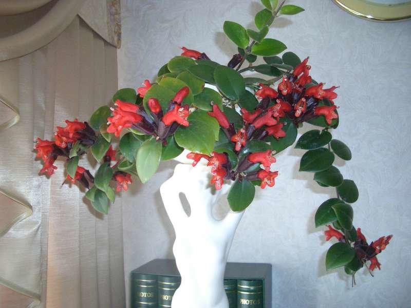 Как заставить эсхинантуса хорошо расти и регулярно цвести в домашних условиях?