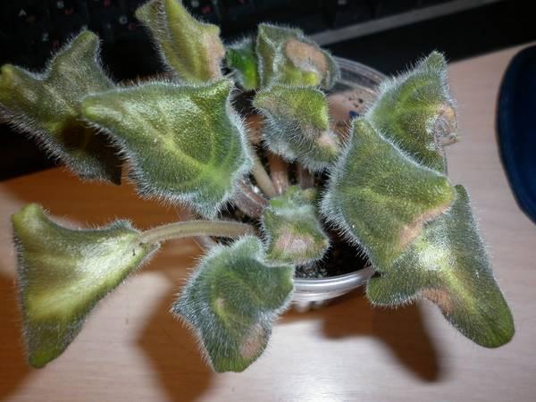Почему у фиалки скручиваются листья и что при этом делать?