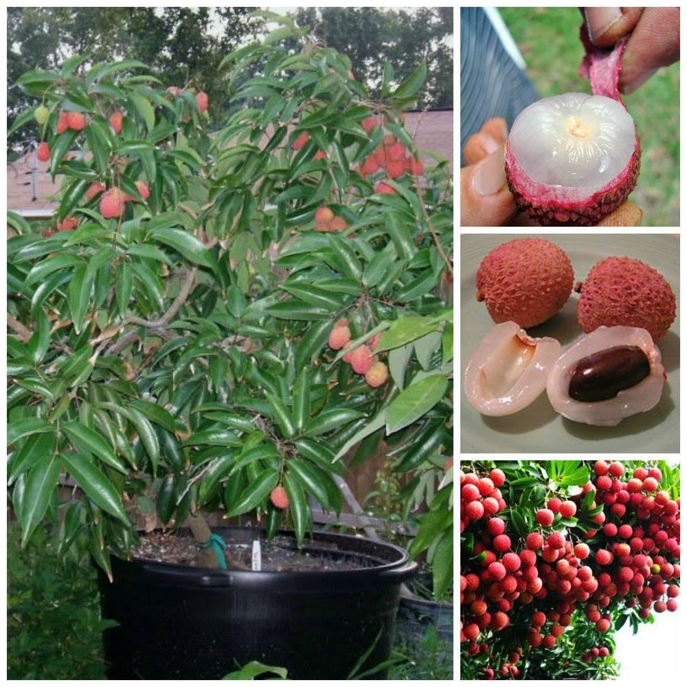 Выращивание фрукта личи в домашних условиях: как ухаживать за деревом, как цветет