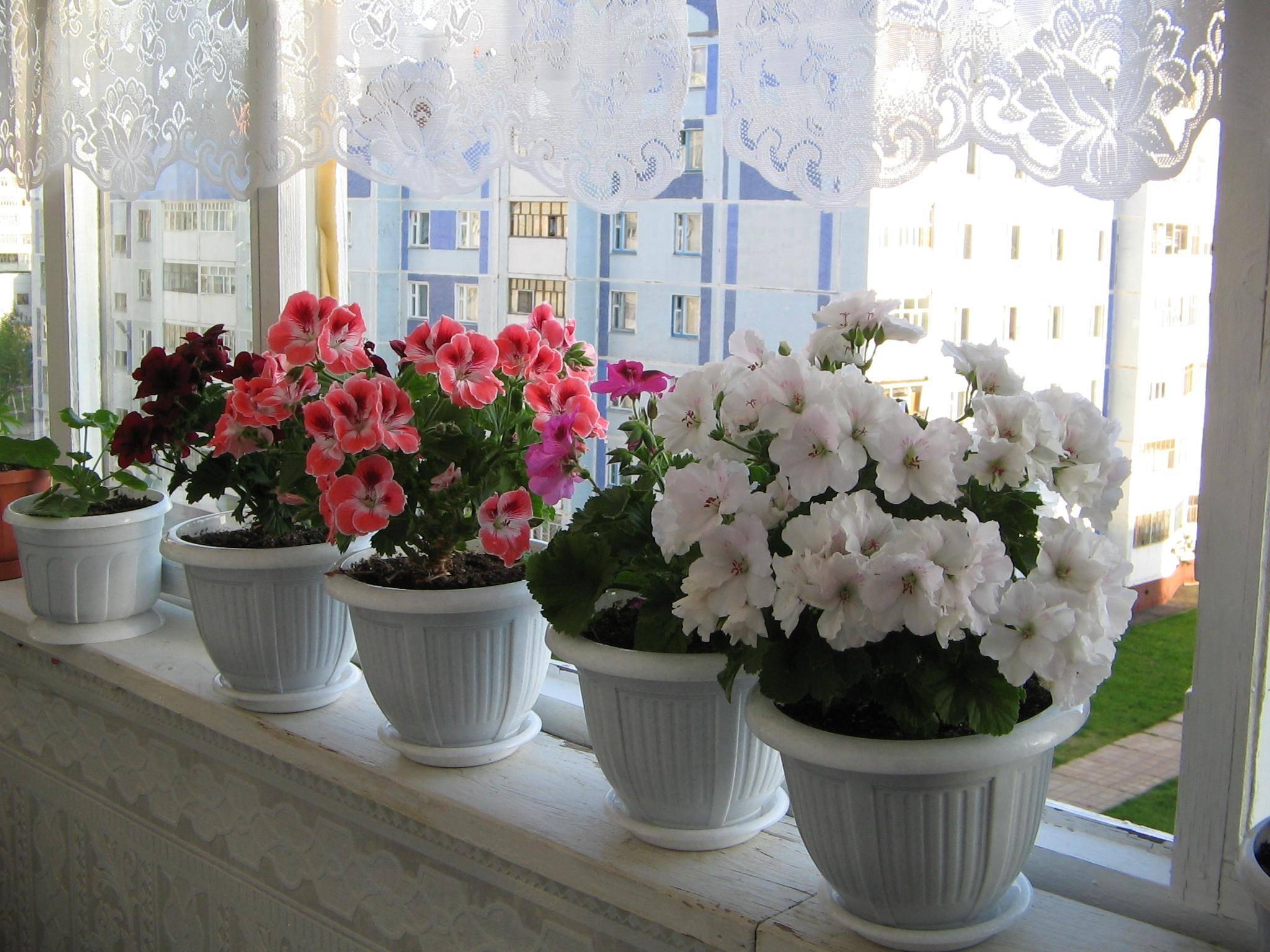 Почему не цветет герань в домашних условиях? как заставить пеларгонию зацвести дома? как ухаживать за комнатной геранью, чтобы она цвела обильно?