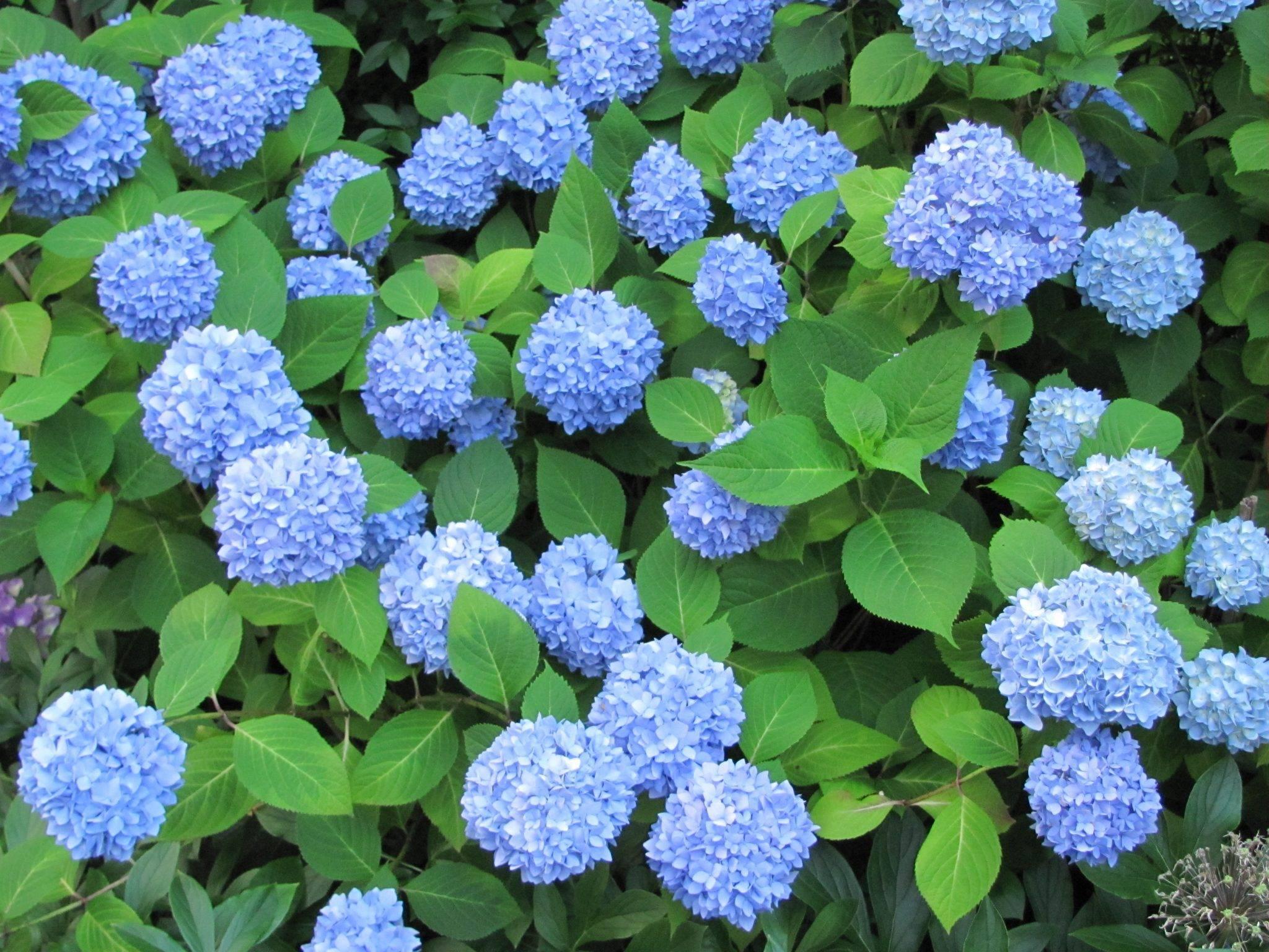 Голубая и синяя гортензия (44 фото): «никко блю» и early blue, «блю вейв» и «романс блю», посадка и уход в открытом грунте