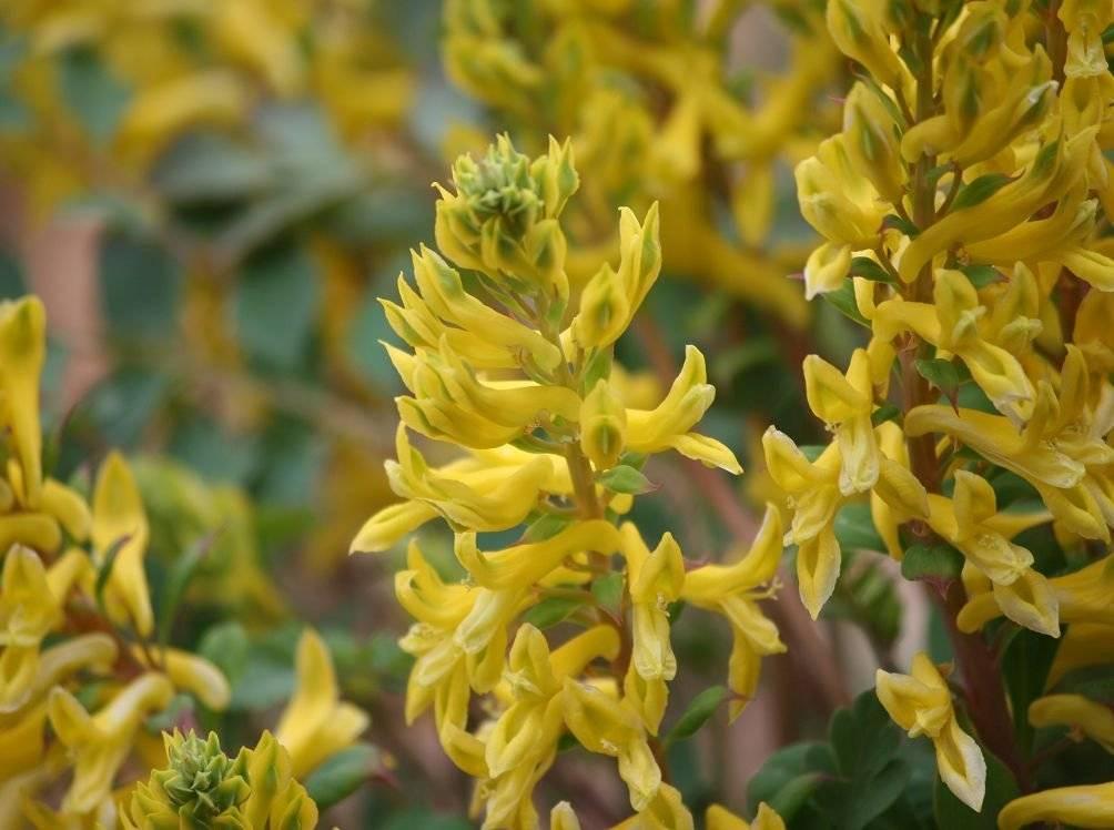 Хохлатка цветок