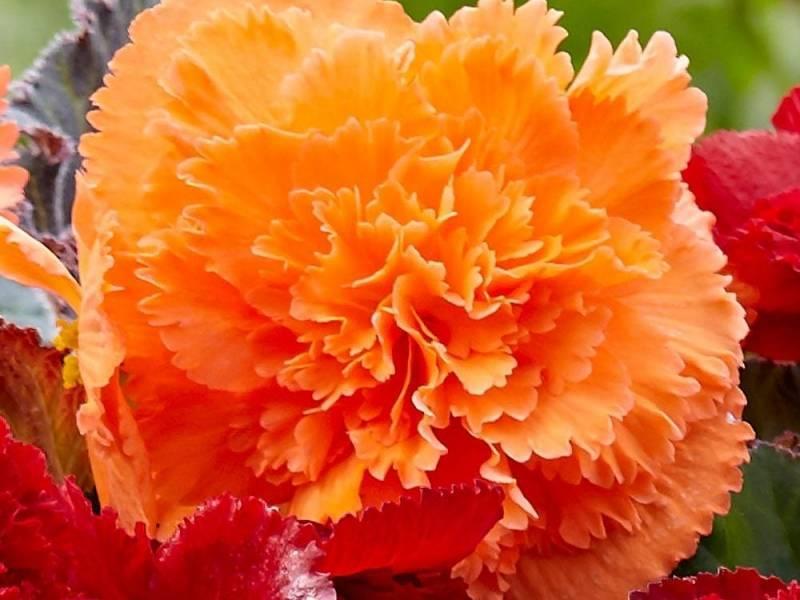 Как выглядит бегония — виды и сорта цветка