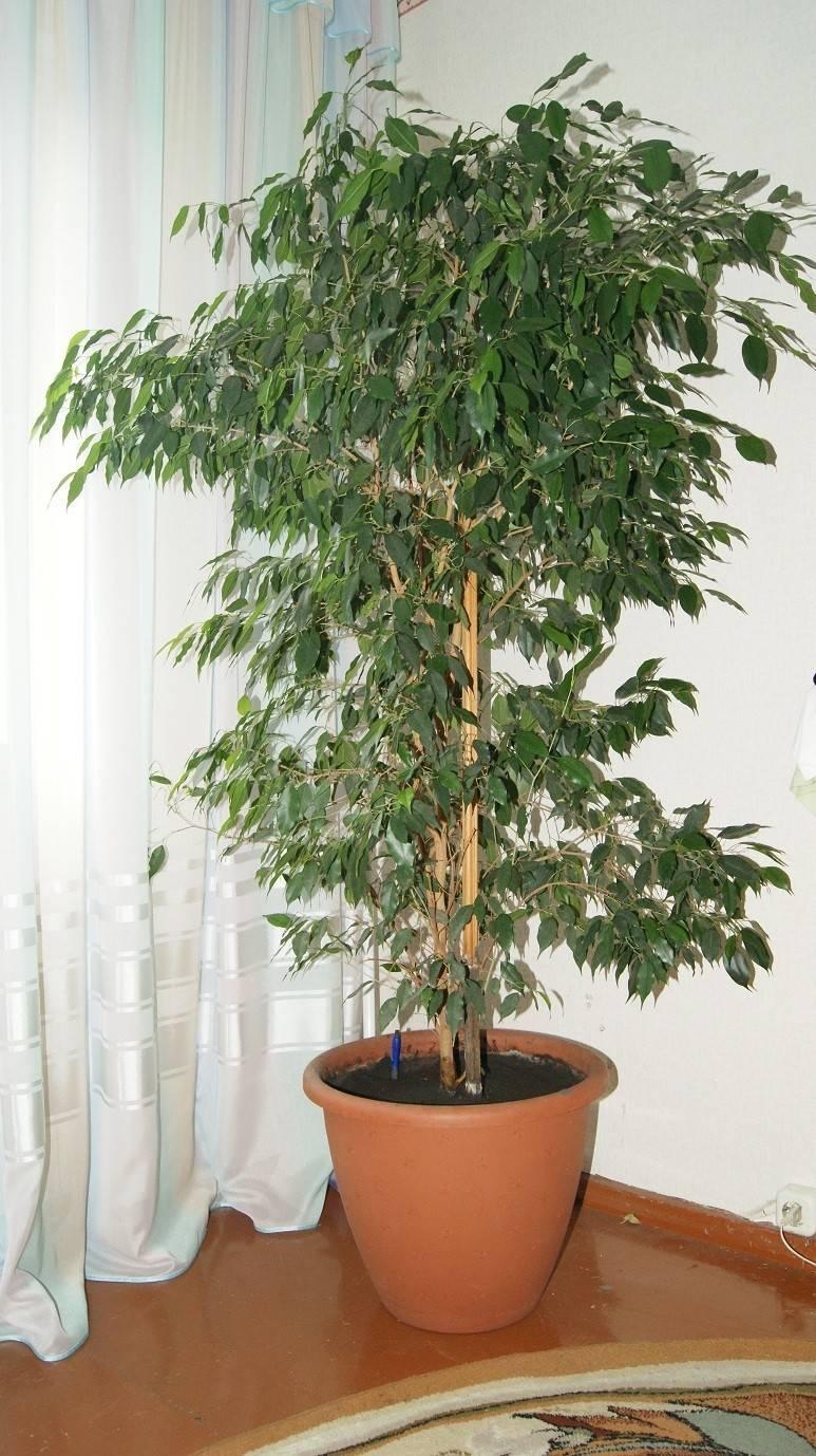 Березка (комнатное растение): посадка, уход, размножение