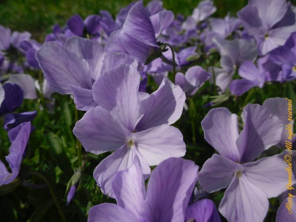 Виола (57 фото): посадка и выращивание однолетних и многолетних цветов, уход за садовой фиалкой, разновидности растения виола болотная и корнута