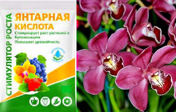 Янтарная кислота для орхидей: примеры развода и применения