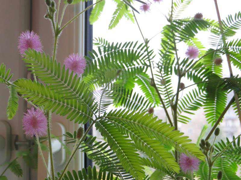Мимоза (mimosa) – уход, фото, виды