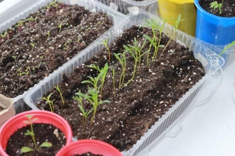 Космея: посадка и уход, выращивание из семян в открытом грунте, фото