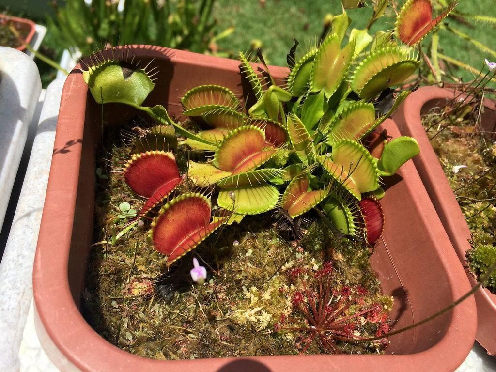 Саррацения пурпурная — как ухаживать за растением