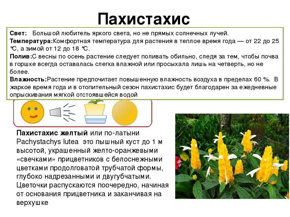 Пахистахис (44 фото): уход за комнатным цветком в домашних условиях, размножение черенками и обрезка, виды пахистахис желтый и красный. почему опадают листья после пересадки?
