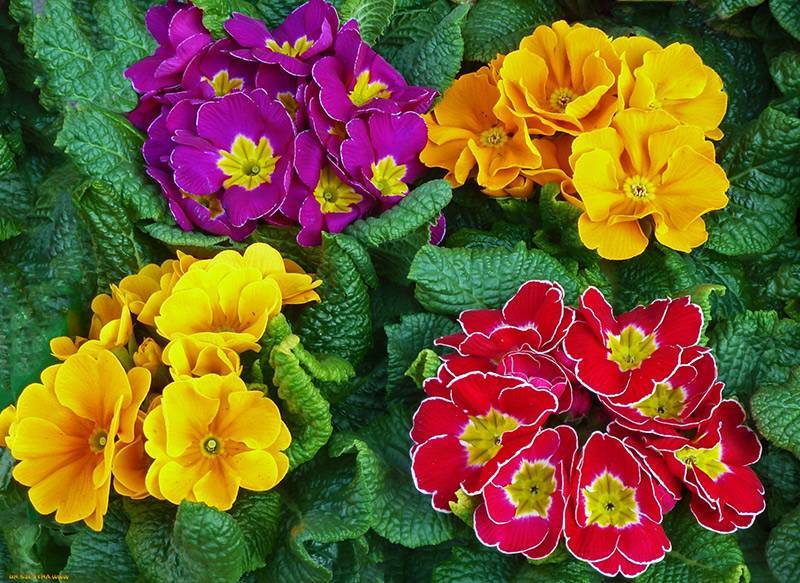 Период цветения примулы и условия ухода: удобрение, пересадка и другие