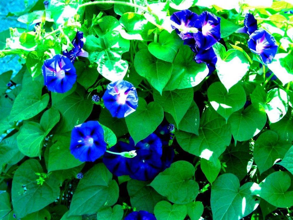 Уход за ипомеями: посадка в открытый грунт, как цветет, многолетние и однолетние
