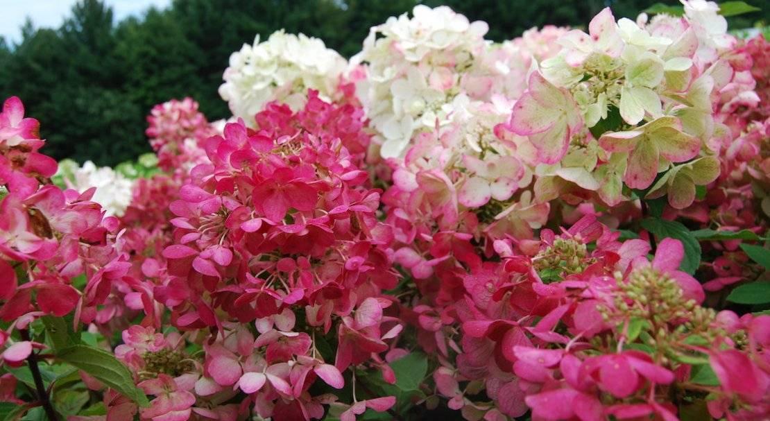 Гортензия садовая: выращивание, размножение, виды