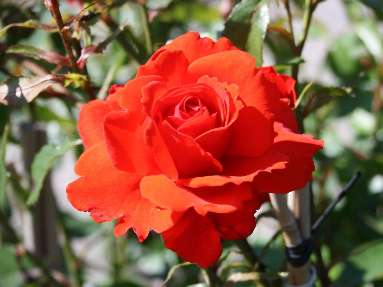 Описание разновидностей немецкой розы кордес: лучшие зимостойкие сорта