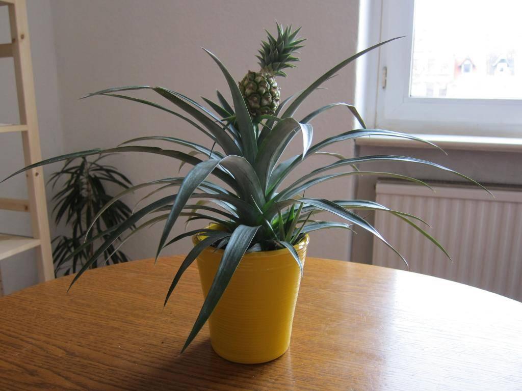 Как вырастить ананас из верхушки дома