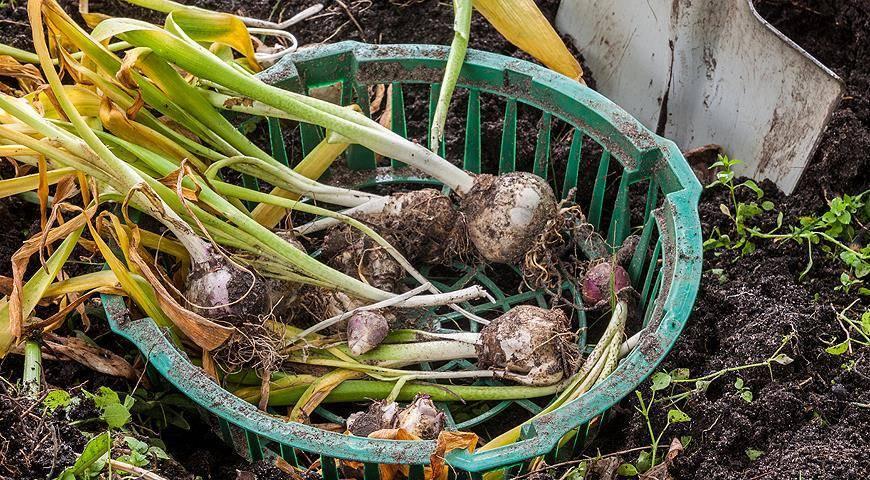 Как и когда выкапывать гладиолусы на зиму: хранение луковиц