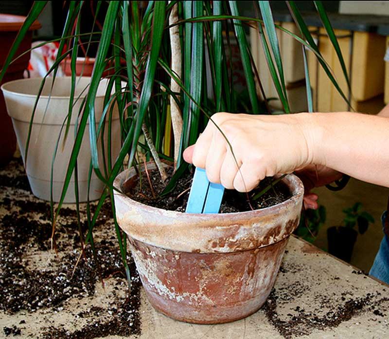Размножение драцены в домашних условиях (48 фото): как размножить растение с помощью верхушечных черенков и других способов? как ее рассадить? уход за рассадой