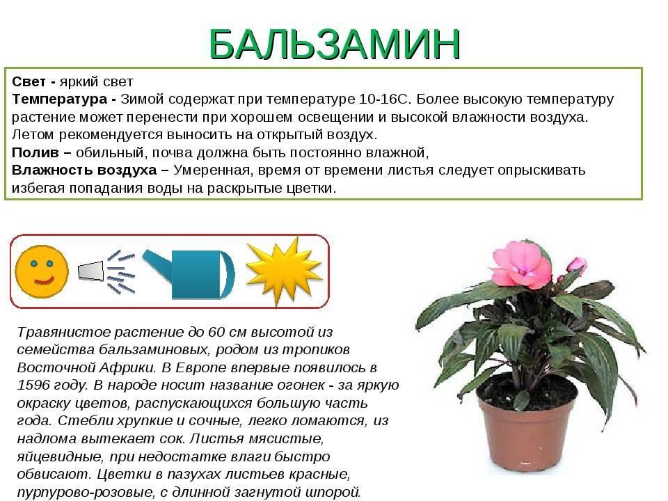Пересадка примулы садовой и комнатной: когда рассаживать и делить после цветения