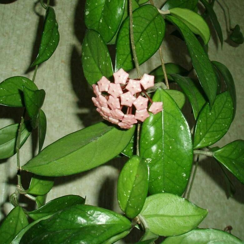 Хойя лакуноза «эскимо»: описание, основные правила выращивания, методы размножения, проблемы роста лианы