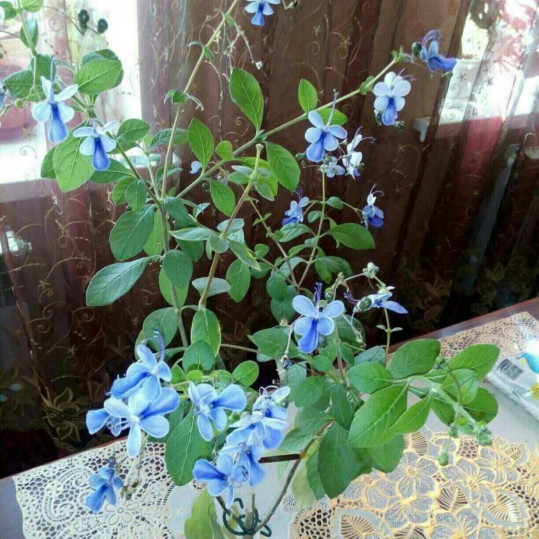 Клеродендрум (62 фото): уход за цветком в домашних условиях. описание «дерева судьбы» уоллича и инерме, шмидта и других видов. способы размножения