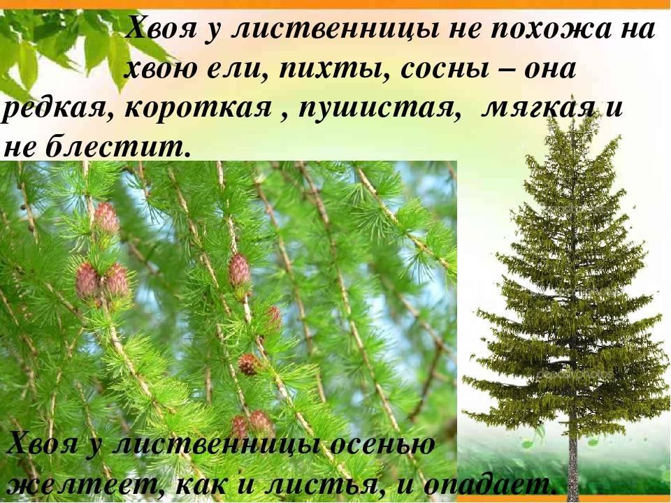 Лиственница европейская: описание и сорта лиственниц