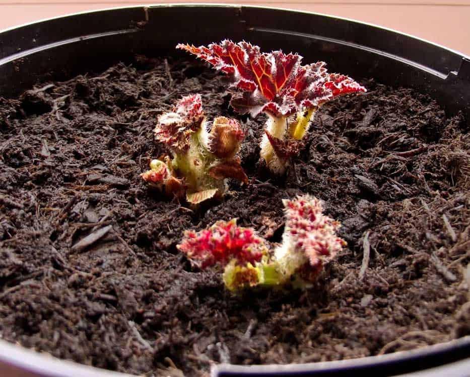 Бегония из семян и клубней: легко ли вырастить?