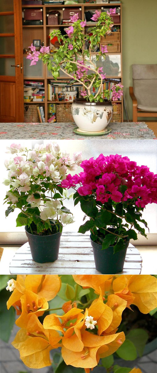 Бугенвиллия выращивание и уход в домашних условиях