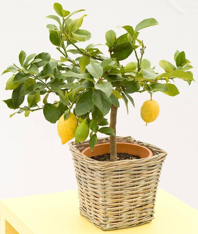 Лимонное дерево, уход в домашних условиях, обрезка, полив