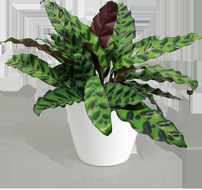 Калатея (calathea) – виды, выращивание, уход