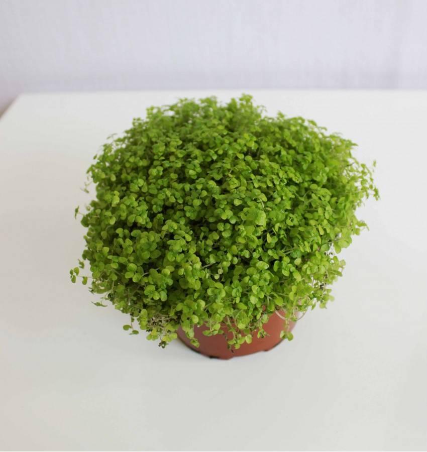 Солейролия (31 фото): уход за гелксиной в домашних условиях, способы размножения комнатного растения. виды цветка