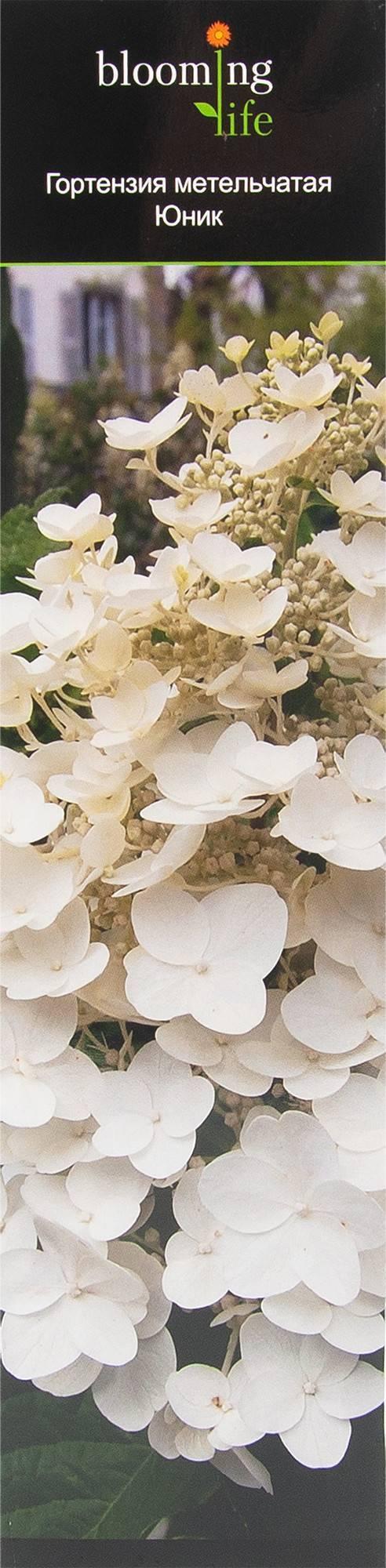 Мега минди: сорт метельчатой гортензии, посадка и уход в открытом грунте