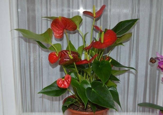 Цветок антуриум – уход и размножение в домашних условиях, фото антуриума