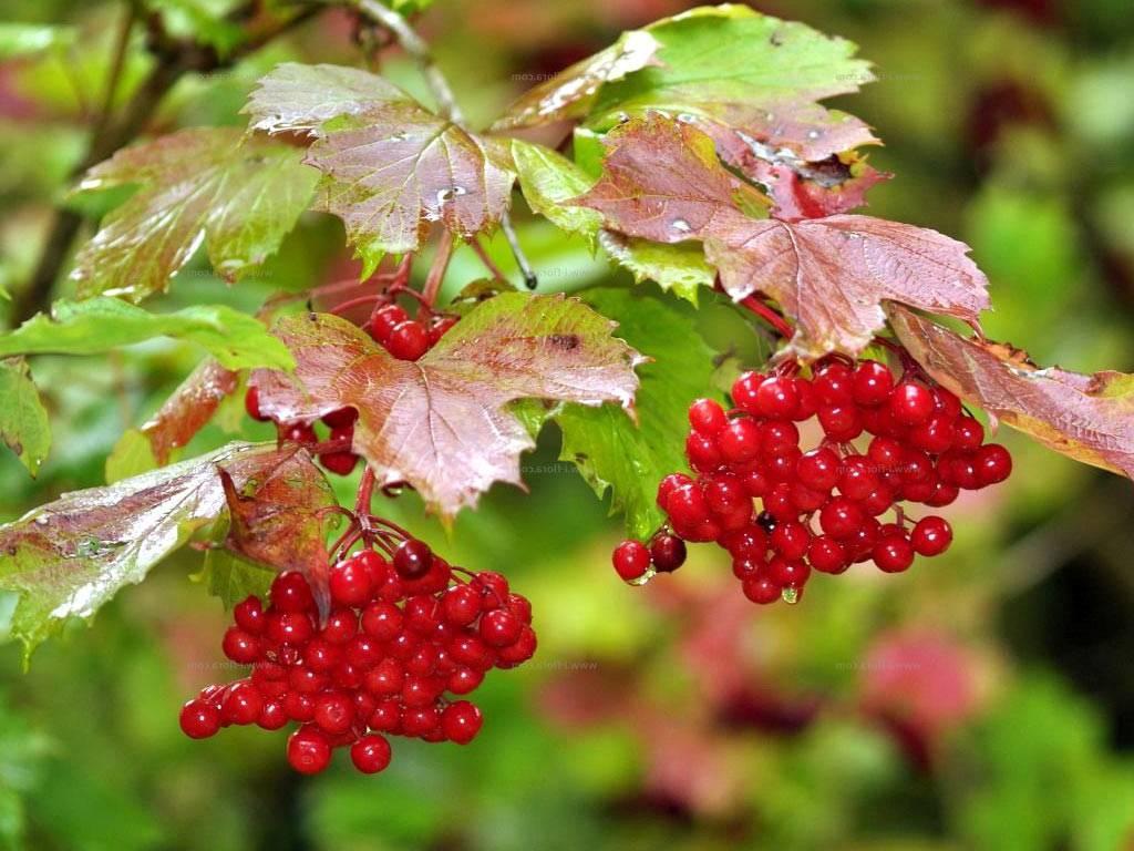 Калина красная это кустарник или дерево, — описание