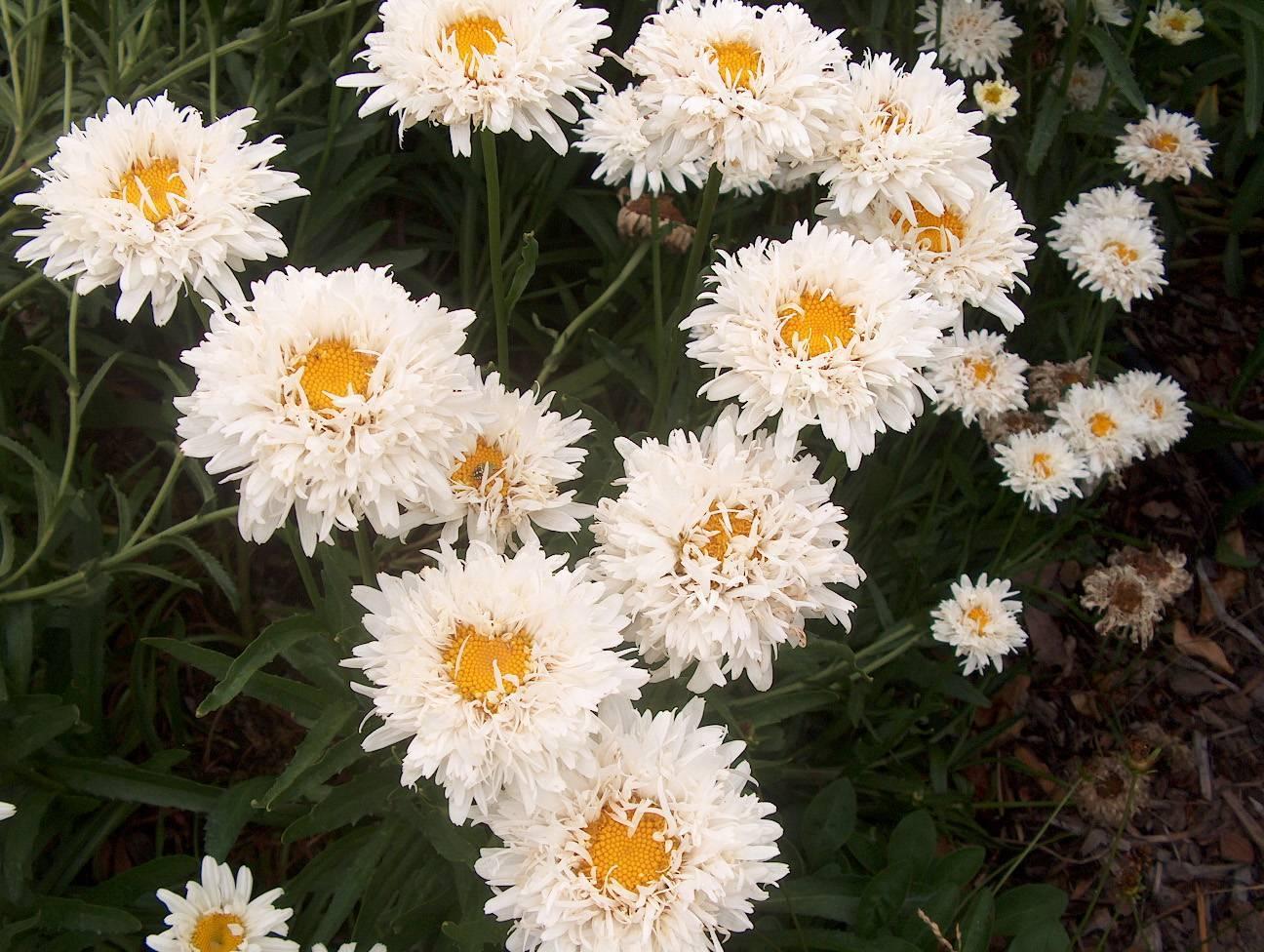 Нивяник обыкновенный или ромашка садовая