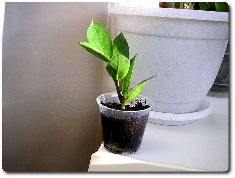 Замиокулькас в домашних условиях: уход за цветком и размножение