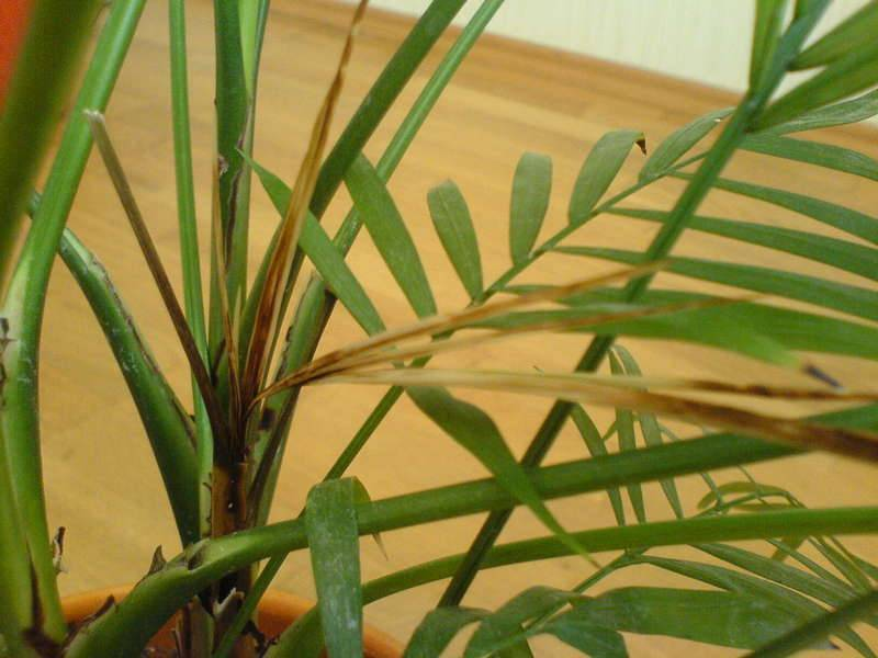 Уход за хризалидокарпусом в домашних условиях: почему сохнут листья на пальме