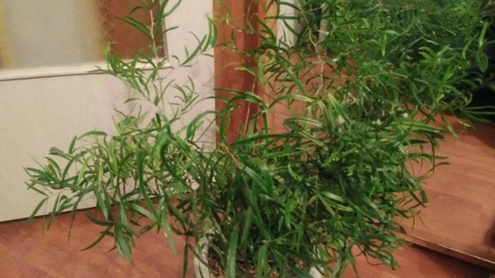 Уход за аспарагусом в домашних условиях: виды аспарагуса, особенности ухода и размножения