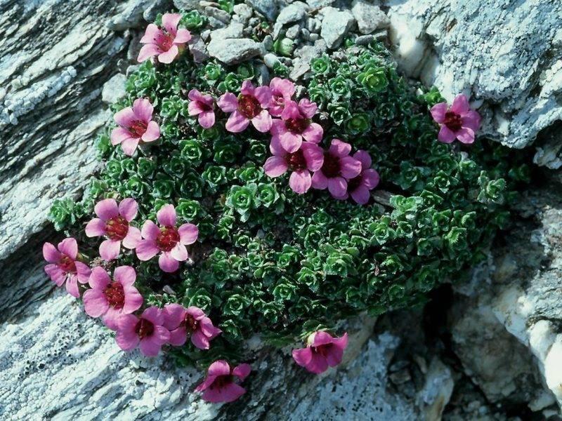 Комнатная камнеломка: выращивание из семян в домашних условиях - энциклопедия цветов