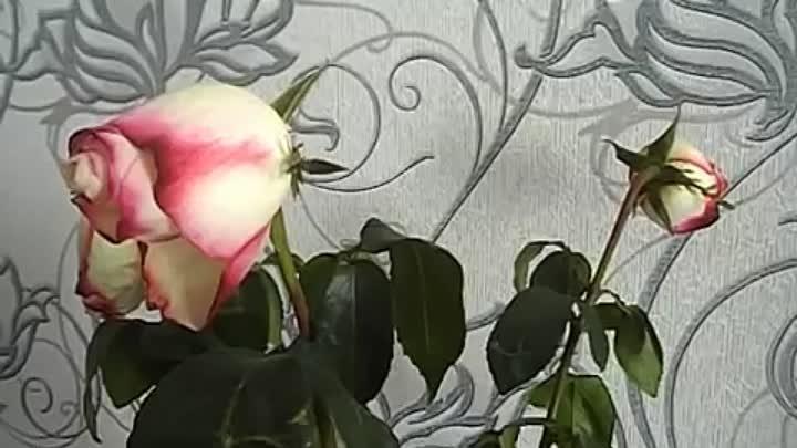 Как оживить розы весной – практическое руководство по спасению