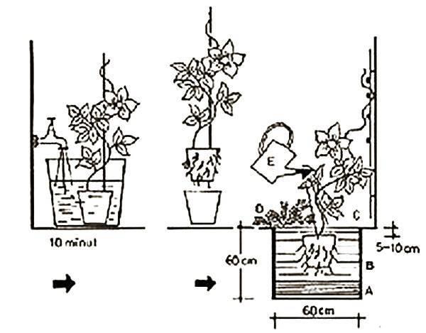 Клематисы в горшке: секреты выращивания