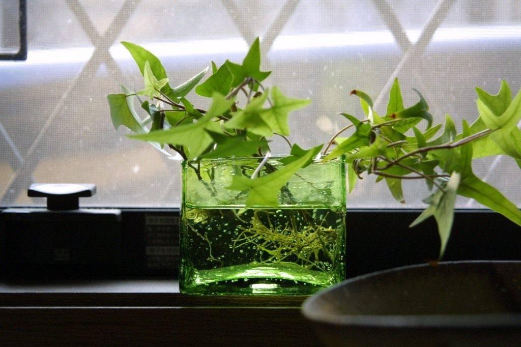 Секреты ухода за плющом комнатным в домашних условиях: фото и советы садоводов