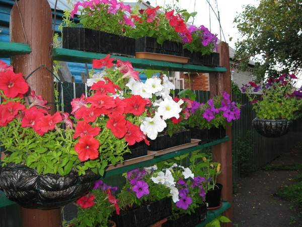 Советы, как обеспечить правильный уход за петунией во время цветения