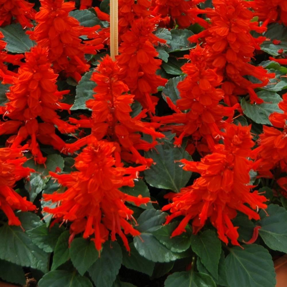 Шалфей (salvia) лекарственный и мускатный: выращивание в саду