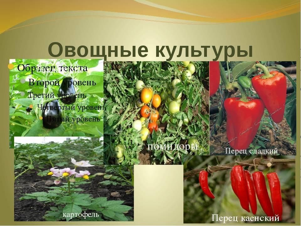 Пасленовые овощи – выращивание и уход