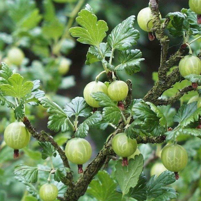 Нет плодоношения крыжовника: почему не цветет, причины по которым нет ягод