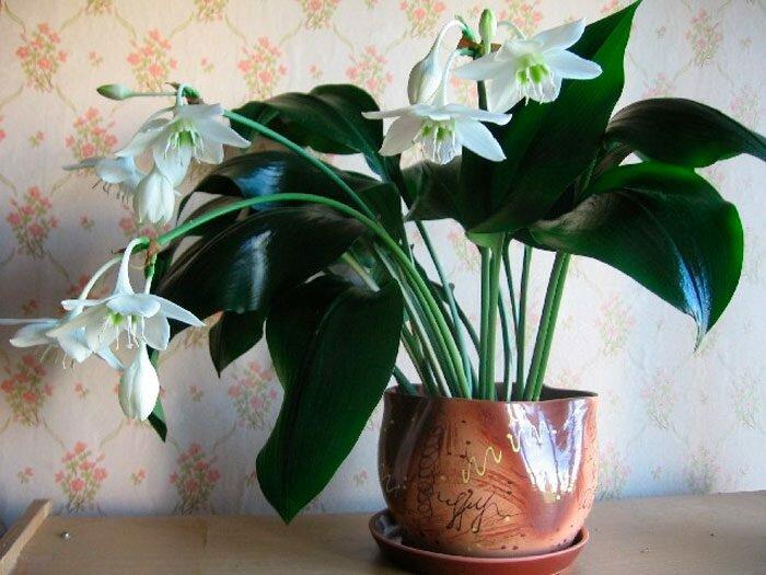 Эухарис — белоснежная комнатная лилия